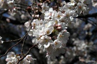 猿江公園桜いっぱい