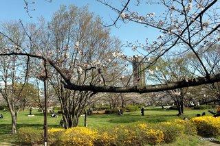 猿江公園桜いっぱい(2)